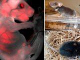 Ученым впервые удалось создать зародыш с клетками человека и свиньи